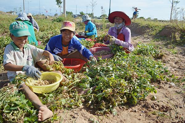 Image result for Hình ảnh nông dân thu hoạch đậu phộng
