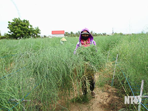 Giảm nghèo từ dự án trồng măng tây xanh   Món Miền Trung