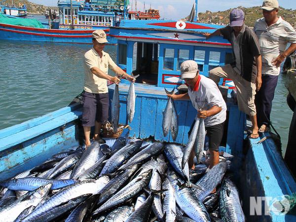 HTX Ngư nghiệp Vĩnh Hy vận chuyển cá thu vào bờ sau khi đánh bắt.Ảnh: V.M