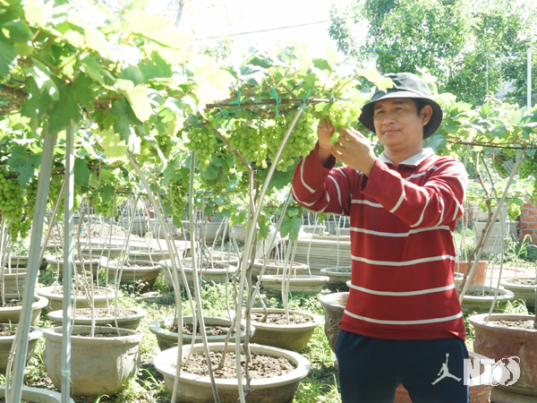 Anh Nguyễn Đức Thắng, xã viên HTX nho cảnh, nho kiểng A8 xã Phước Thuận chăm sóc cây.